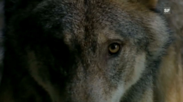 Video «NETZ NATUR «Wer ist der Wolf?» (Hochdeutsch)» abspielen