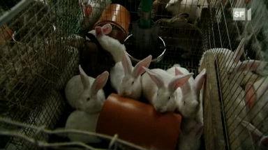 Video «Kaninchen: Schlimme Zustände in Mastbetrieben» abspielen