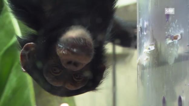 Video «Die Affen und der Joghurt» abspielen