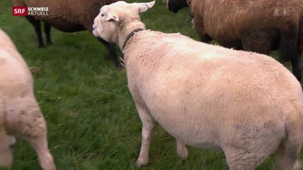 Video «Neue Schafrasse ohne Wolle» abspielen