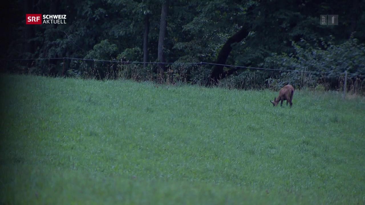 Dietschis auf der Jagd