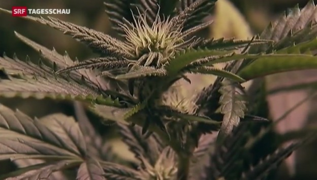Video «Neue Diskussion über Cannabis-Legalisierung» abspielen