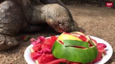 Link öffnet eine Lightbox. Video Schildkröte Hugo feiert seinen 67. Geburtstag abspielen