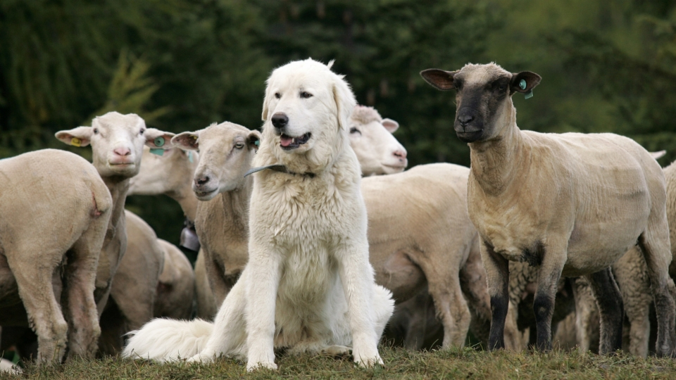 Die Ausbildung eines Herdenschutzhundes dauert rund zwei Jahre