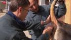 Video «Rinder-Seuche IBR zurück in der Schweiz» abspielen