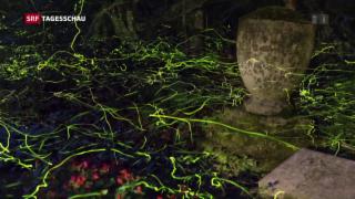 Video «Glühwürmchen im Paarungsfieber» abspielen