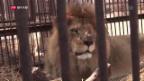 Video «Löwenbefreiung: Heldentat oder Werbegag?» abspielen