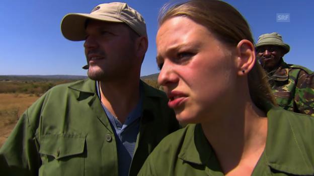 Video «Die «Jobtausch»-Tierärzte erspähen den verletzten Elefanten» abspielen