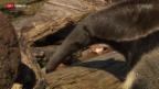 Video «Zoo-Direktor Alex Rübel zeigt den Ameisenbär» abspielen