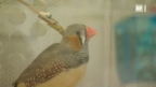 Video «Wie Jungvögel singen lernen» abspielen