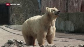 Video «Neuer Bärenpark in Arosa mit serbischen Zirkusbären» abspielen