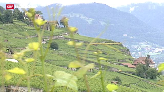 Kampf um Schutz der Genfersee-Weinberge