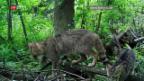 Video «Einmalige Aufnahmen von Wildkatzen» abspielen