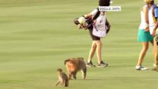 Link öffnet eine Lightbox. Video Affenbande klaut Schweizer Golferin das Sandwich abspielen