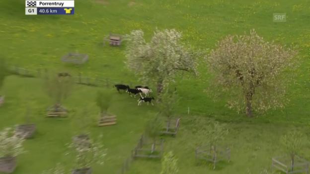 Video «Rad: Tour de Romandie, 3. Etappe, Kühe neben der Strecke» abspielen