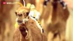 Video «Kamelrennen in Abu Dhabi – Jockeys sind teure Roboter» abspielen