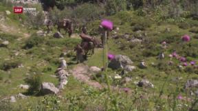 Video «Gotthard-Maultiere unter der Lupe» abspielen