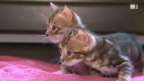 Video «So trickst eine Katzen-Gaunerbande» abspielen