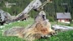 Video «Wild Cam: Murmeltiere» abspielen