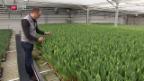 Video «Tulpen aus Züberwangen» abspielen