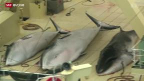 Video «Japans Walfang dient nicht der Wissenschaft» abspielen