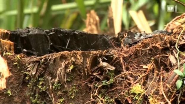 Video «Das grosse Geschäft mit illegalem Tropenholz» abspielen