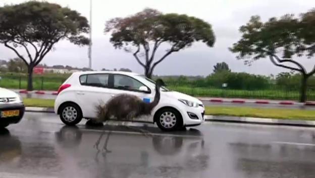 Video «Emu auf der Autobahn» abspielen