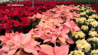 Video «Hochsaison der Weihnachtssterne » abspielen