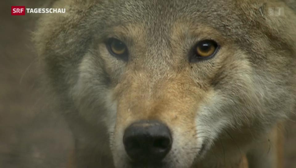 Neues Wolfskonzept regelt Abschuss