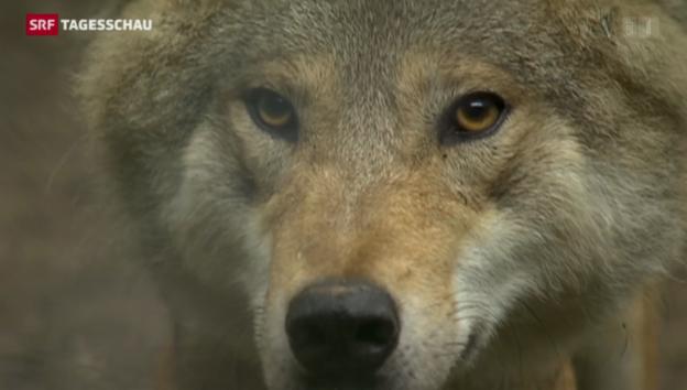 Video «Neues Wolfskonzept regelt Abschuss» abspielen