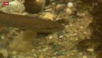 Video «Fische verschwinden - Experten rätseln» abspielen