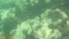 Video «Unterwasservideo: Das farblose Great Barrier Reef» abspielen