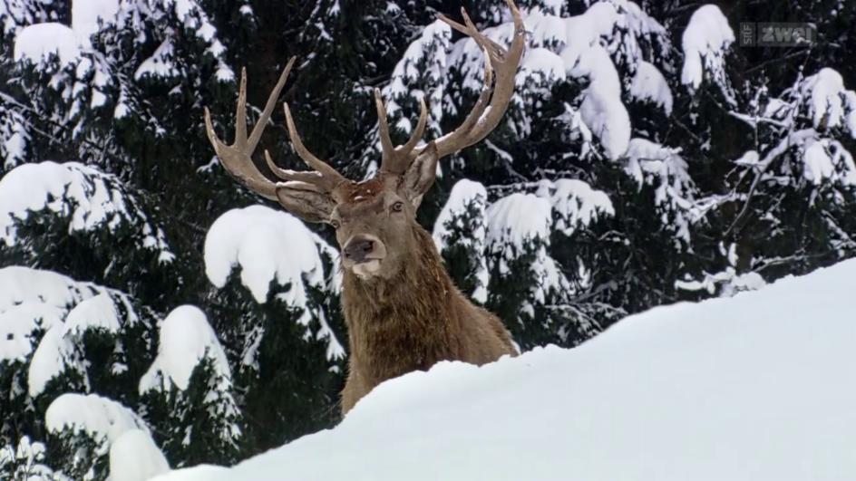 Video «Winterwildnis – Tierische Überlebenskünstler» abspielen