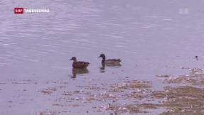 Video «Vogelgrippe wieder in der Schweiz» abspielen