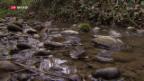 Video «Pestizide in Schweizer Bächen» abspielen