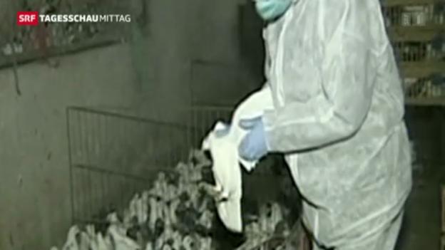 Video «In Shanghai werden die ersten Hühner gekeult» abspielen