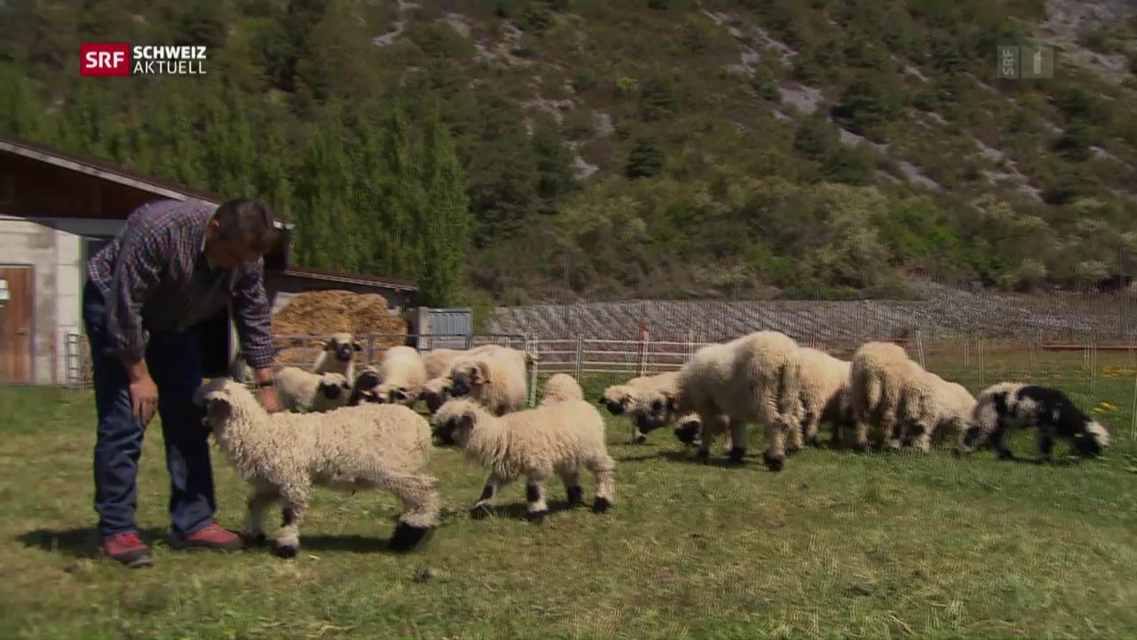 Schutz der Schafe vor dem Wolf