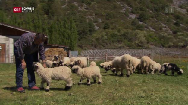 Video «Schutz der Schafe vor dem Wolf» abspielen
