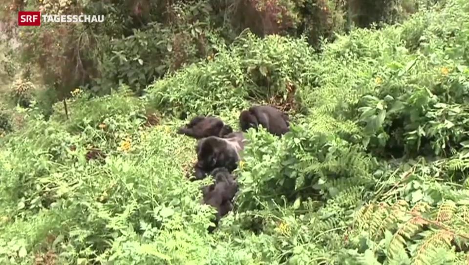 Berggorillas in Ruanda bekommen einen Namen – um sie zu schützen