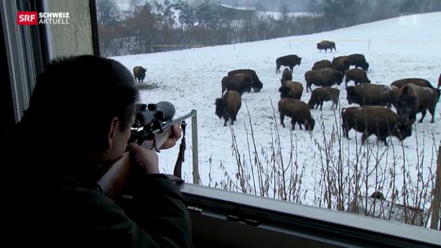 Bison-Jagd nach Feierabend