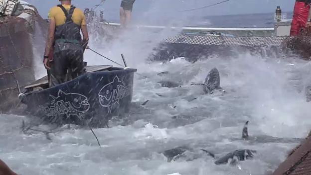 Video «Roter Thunfisch: Von der Mattanza aufs Edelmenü (NETZ NATUR, SRF)» abspielen