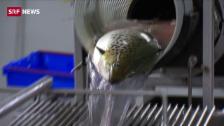 Link öffnet eine Lightbox. Video Erster Schweizer Indoor-Lachs wird «geerntet» abspielen