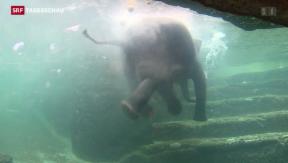 Video «Badeplausch für die Elefanten im Zoo Zürich» abspielen