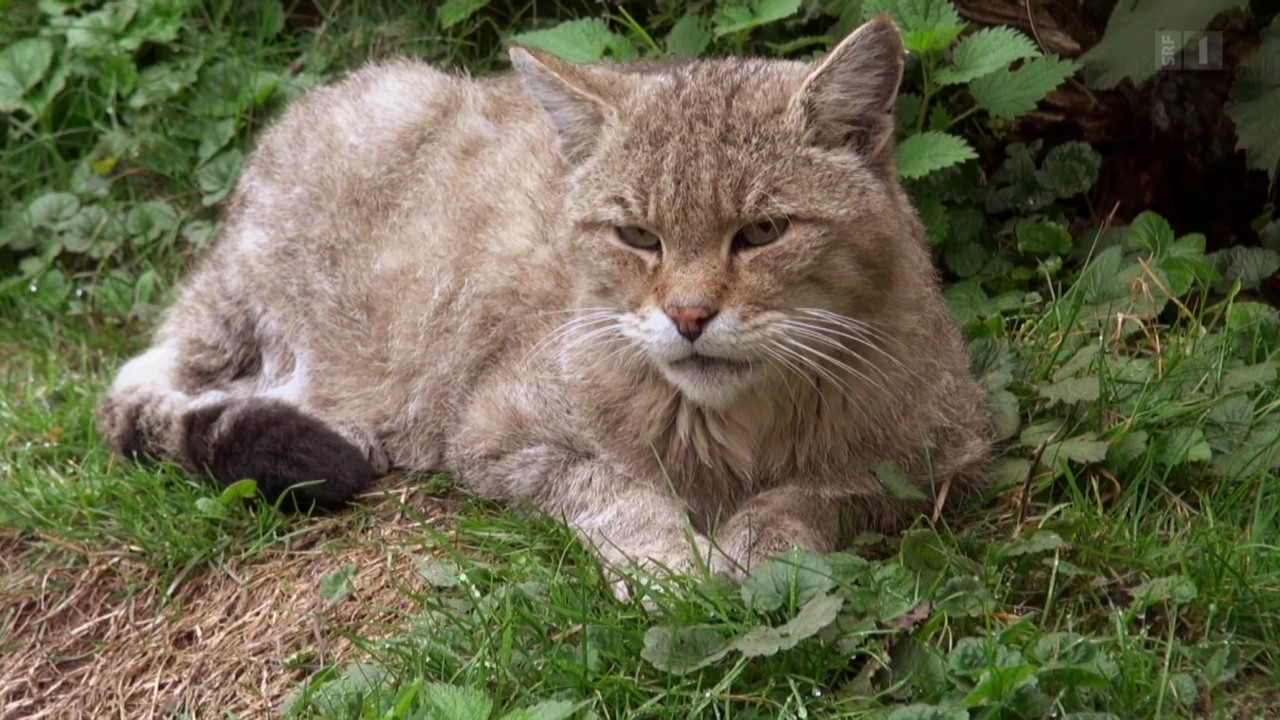Wenn Wildkatzen auf wilde Katzen treffen