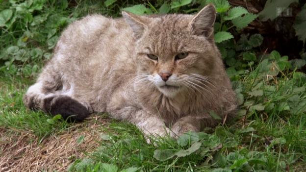 Video «Wenn Wildkatzen auf wilde Katzen treffen» abspielen