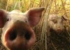 Video «Glückliche Schweine = besseres Fleisch?» abspielen