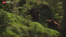 Video «Bern hat seine Bären wieder» abspielen