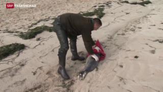 Video «Seehundsterben an Deutschlands Nordseeküste» abspielen