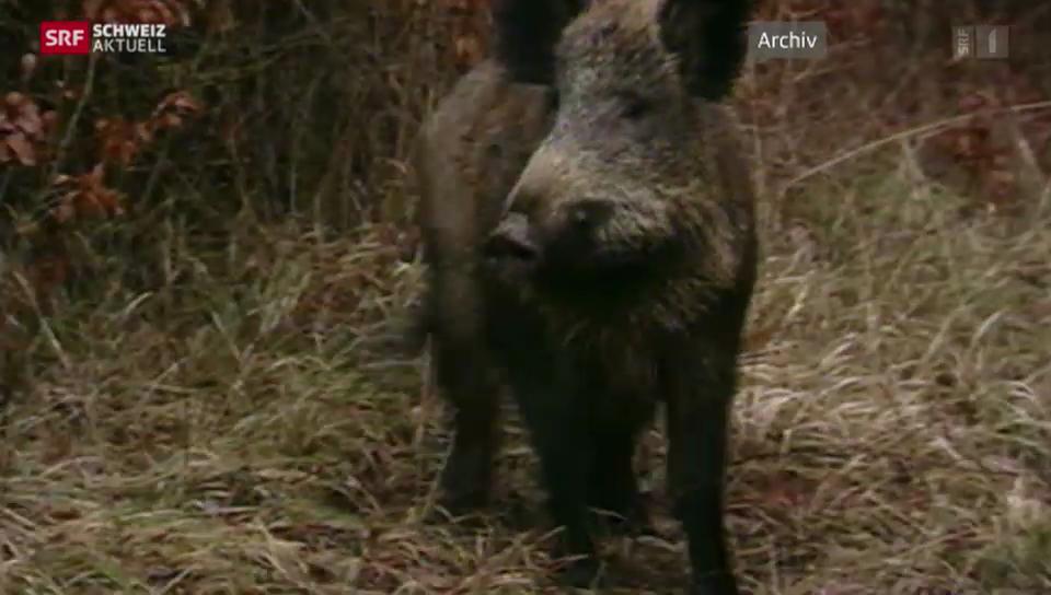 Grosse Schäden durch Wildschweine