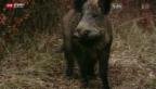 Video «Grosse Schäden durch Wildschweine» abspielen